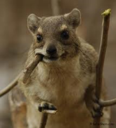 (This is a Hyrax, in case you were wondering).